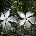 A hónap növénye: Dianthus plumarius ssp. regis-stephani
