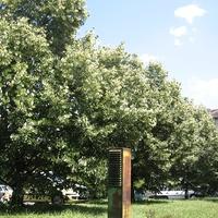 A hónap növénye: Tilia sp.