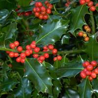 A honap növénye: Ilex aquifolium