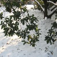 A hónap növénye: Quercus X turneri 'Pseudoturneri'