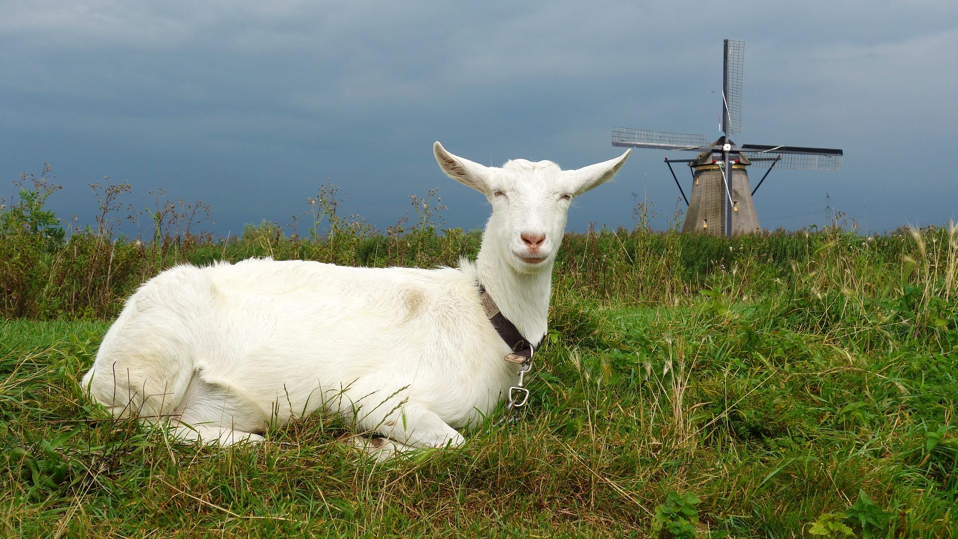 goat-2752693_1920.jpg