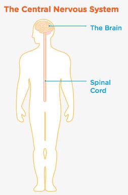 central-nervous-system.png
