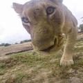 Megzabálta a tigris a GoProt, pedig a fotóst kellett volna!