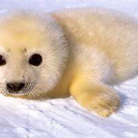 PETA a fókabébik lemészárlása ellen