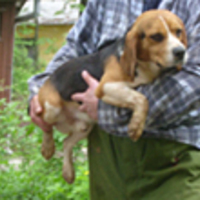 még mindig gazdira vár néhány kísérleti beagle kutya