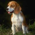 13 laboros beagle szeretne új életet kezdeni