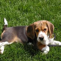 egy hét alatt elfogytak a beagle-k