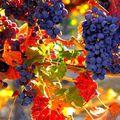 Az ősz csodabogyói: a szőlőszemek