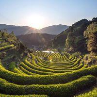 A nyár teája: a zöld tea