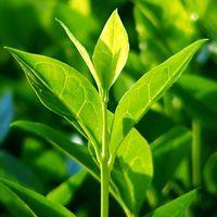 Csodás fertőtlenítő: teafa