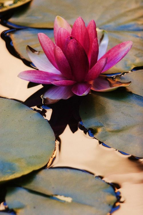 lotusz.jpg