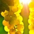 A csodálatos szőlő és élettani hatásai