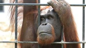 kalitka-nagy-orangutan_2.jpg