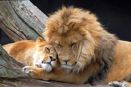 lions-love.jpg