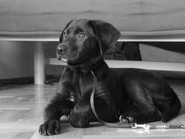 is fekete labrador, mentett kutya, lett gazdája (spoiler)