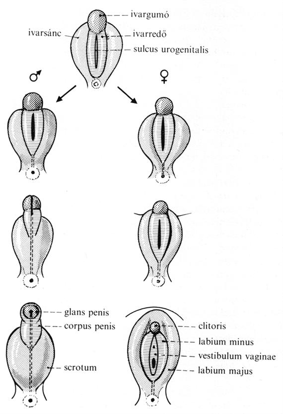 2011_0001_524_funkcionalis_anatomia_2.png