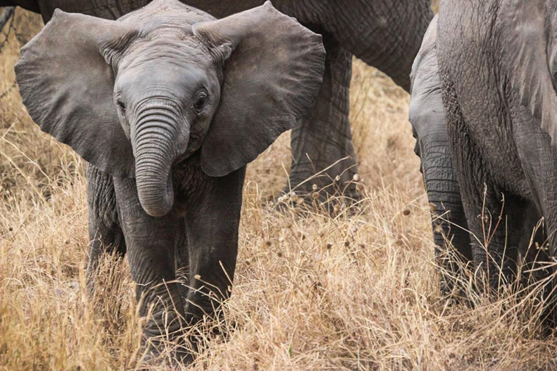 gray-elephant-59840.jpg