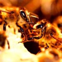 A méz, mint