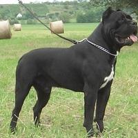 Kiváló őrző-védő és családbarát kutya egyben
