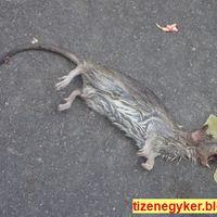 Patkányok a játszótéren