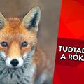 10 érdekesség a rókákról