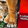 10 érdekesség a tigrisekről, amit eddig talán nem tudtál