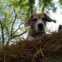 Egy beagle naplója