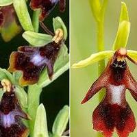 British Bulldog Paphs, Bulldog Orchids. & my fav orchids