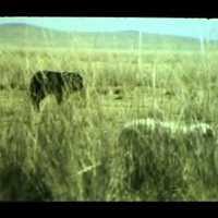 Mongolian Bankhar. Mongoliin Bankhar Nohoi