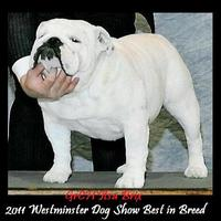 135. Westminster Dogshow NewYork USA