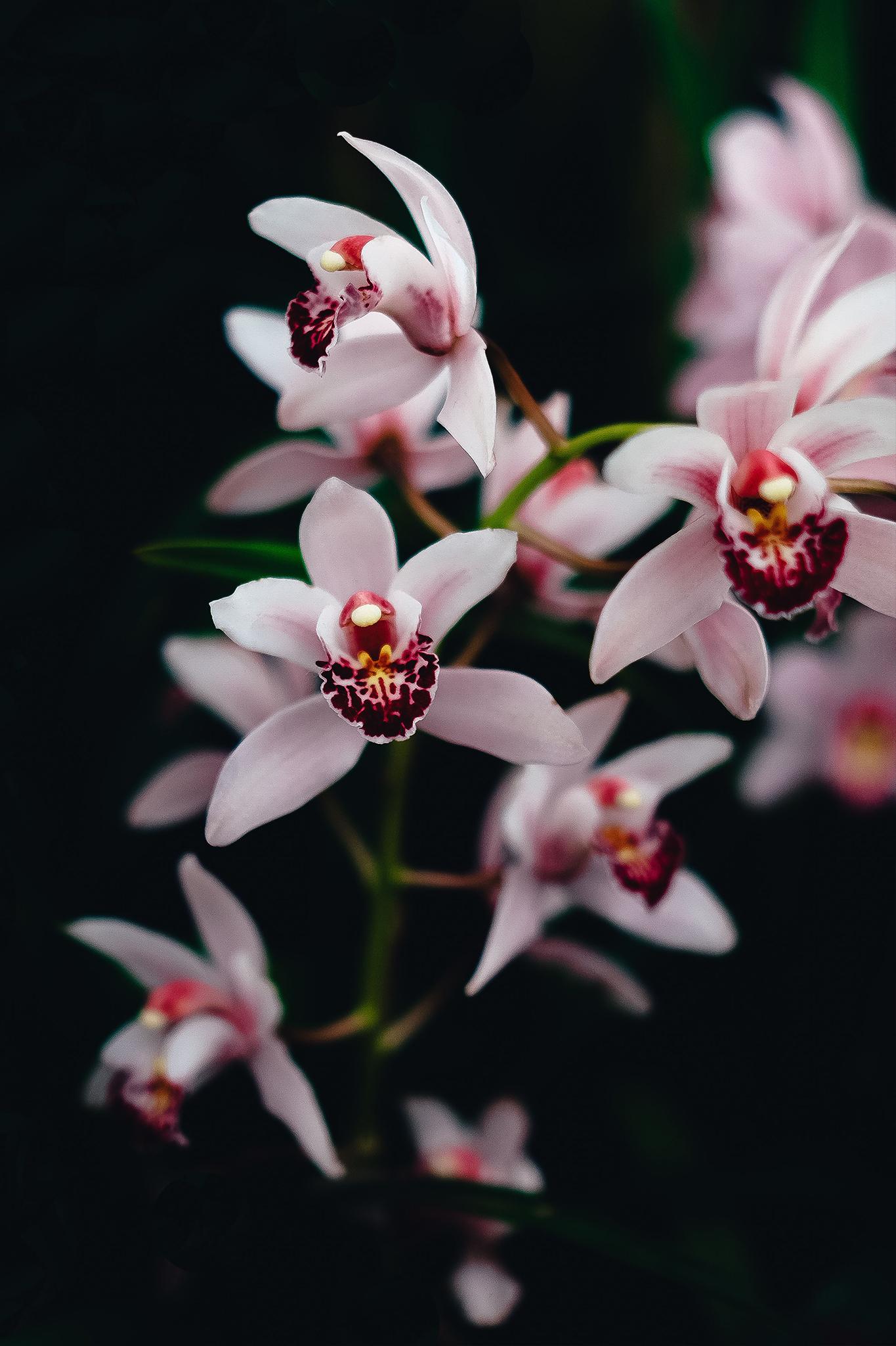 v_orchidea.jpg