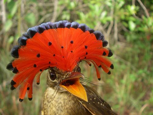 A koronás tirannusz (Onychorhynchus coronatus)