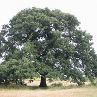 Rákóczi fái