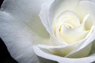 A bizalom rózsája