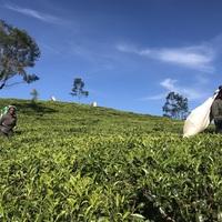 Ceylon legendás teaültetvényei
