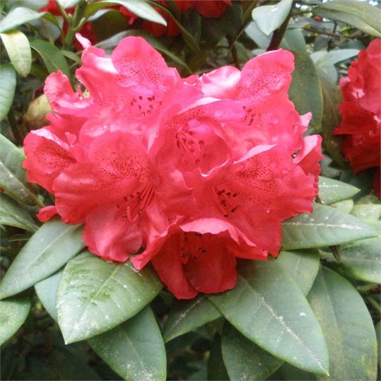 rhododendron-beau-brummell.jpg