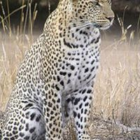 Tudod e a leopárdról...