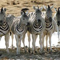 Tudod e miért csíkos a zebra?...