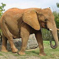 Tudod e az indiai elefántról...