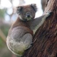 Tudod e a koaláról,...