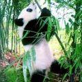 Tudod e a pandáról?...