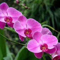 Tudod e az orchideáról...