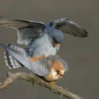 Tudod e 2009-ben melyik madár az év madara?...