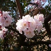 A csöcsiangi cseresznyevirág és a grafén
