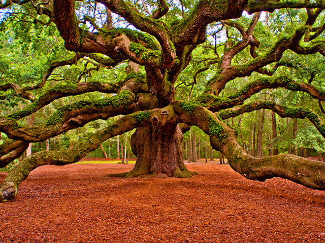 Magyarország fája 2015-ben: kocsányos tölgy (Quercus robur)