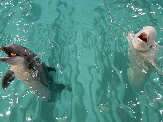 Delfinül tanult egy beluga