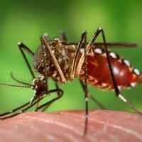 Természetes illat-maszk szúnyogok ellen?