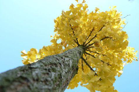 ginkgo_tree_tree-3.jpg