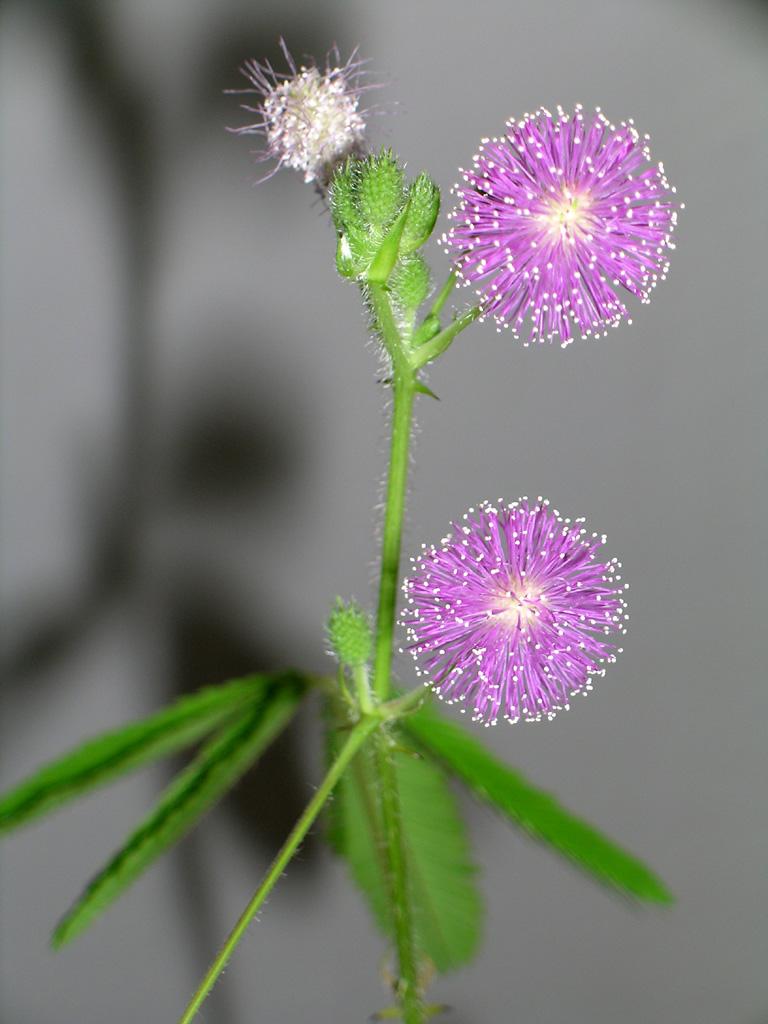 Mimosa_pudica_flower.jpg