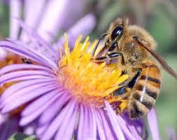 _____honey-bee.jpg